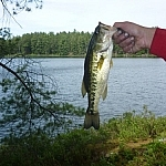 A large-mouth bass, freshly caught.