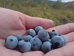 Picking berries and holding blueberries in my hand