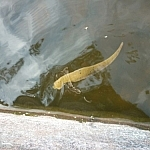 An enormous leech floats just below the water's surface.