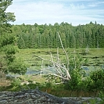 A wetland scene with a silvery, many-branched dead tree in the centre.
