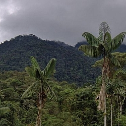 Dark grey storm clouds hover above a tree-covered mountain rising behind a forest of palm trees at Merazonia Animal Reserve in Ecuador.