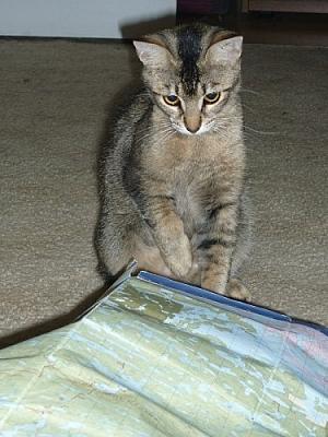 Cat examining a map.