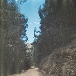 Eucalyptus trees lining the road on the way to Titicachi.