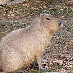 Wildlife tales from Picaflor aren't complete without a capybara such as this Ron look-alike.
