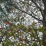 Apples in a tree