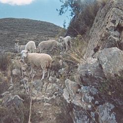 Barnyard animals seen while hiking on Isla del Sol.