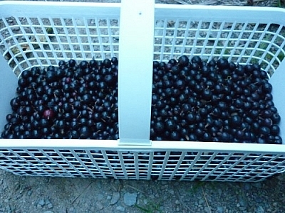 Small basket of black currants.