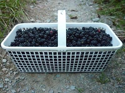 Full basket of blackberries.