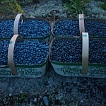 Close-up of four full baskets of blueberries