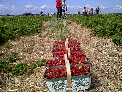 Before we can start dehydrating berries, we've got to pick them! Here are several baskets of strawberries that we picked.