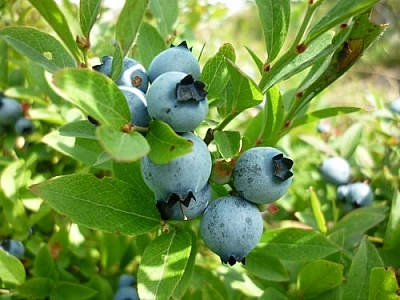 Beautiful blueberries nestled in a bunch of green leaves.