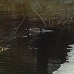 Close-up of a beaver poking it's head out of the water.