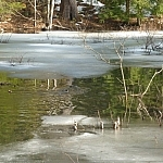 Two beavers swimming in a roadside creek near McCrae Lake.