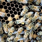 Bee carrying pollen in the center amid other bees.
