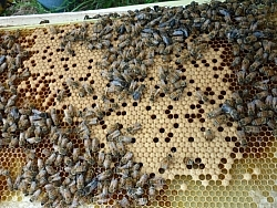Darker-coloured cells, a swarm of bees at work.