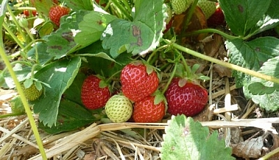 Patch of red strawberries, one white one standing out from the rest.