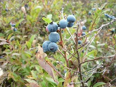 Mostly blue blueberries on a branch, with a few smaller, ones, a pink one, and a green one peeking out.