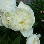 Many large white garden flowers