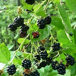 Blackberries hanging from a branch.