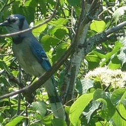 Close-up of a blue jay while hiking in Mattawa, Ontario