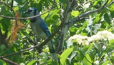 Blue jay seen while hiking the History Loop on Etienne Trail.