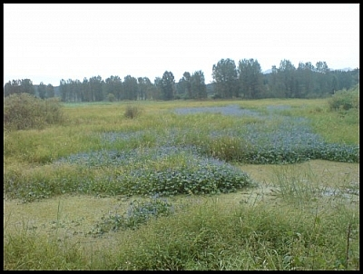 The Upo Marsh circuit hike reveals spectacular flora, for example these blue flowers in the middle of a swamp.