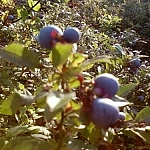 Picking blueberries in Sudbury.