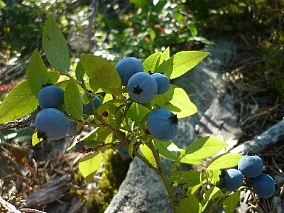 Picking blueberries in the shade...
