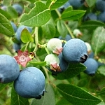 Blueberries, some large and ready to pick, some small, green, and still growing.