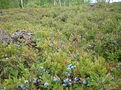 Our blueberry picking tips come from lots of experience! Here's one of our favourite spots.