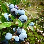 Blueberries in the sun photographed during a berry picking bush hike in Sudbury.