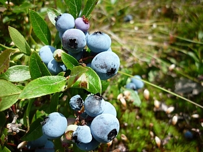 Berries in the sun photographed during one of our blueberry picking bush hikes in Sudbury.