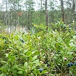 Blueberry bushes with Lake Nipissing in the background