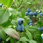 Blueberries everywhere!