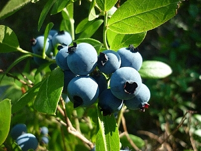 Picking blueberries in the hot sunshine...