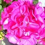 Bright pink garden flowers