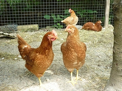These chickens don't dig life in the jungle at Picaflor, they dig life in the bush of French River!