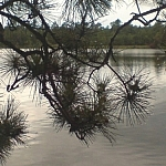 A close-up of a branch full of pine needles screens Lake Nipissing in the background.