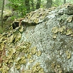 Lichens growing on a large boulder in the forest off of Killarney's Lighthouse Trail.