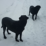 Two black labs standing out against the bright white snow.