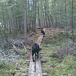 Two dogs playing Follow the Leader wile hiking on a boardwalk in Ontario's Samuel de Champlain Park.