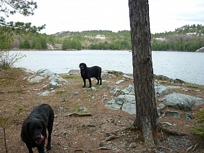 Two black labs standing by a lake in Killarney Provincial Park.