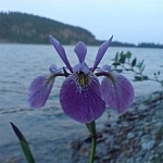 Beautiful flower seen on the waterside while hiking in Ontario at Gull Lake.