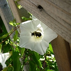 White flower, a bee hovering inside.