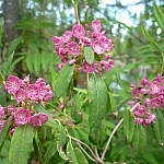 Small but pretty pink flowers seen while day hiking Halfway Lake Park's Hawk Ridge Trail.