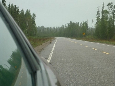 Returning from our Wakami Provincial Park backcountry trip, we saw a fox crossing the highway with a hare in its mouth.