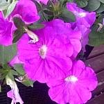Fuschia garden flowers