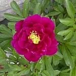 Deep red garden flower