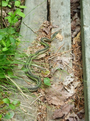 Garter snake seen on a boardwalk while hiking the History Loop on Etienne Trail.