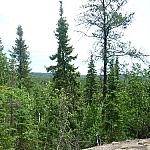 Tall conifers at Halfway Lake Provincial Park.